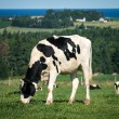 Dairy cow in grazing in pasture — Stock Photo