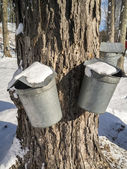Maple Syrup sap buckets on tree — Stock Photo