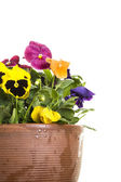 Clay planter pot of colorful pansies — 图库照片