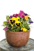 Potted pansy flowers — Stock Photo