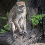 Black cap capuchin monkey — Stock Photo #26382015