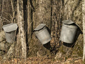 Maple syrup sap collection buckets — Stock Photo