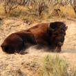 Stock Photo: AmericBison