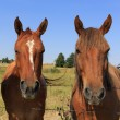Two Horses — Stock Photo #30680295