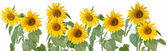 Row of Sunflowers — Stock Photo