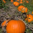 Pumpkins on a farm — Stock fotografie