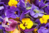 Bunch of violet eatable flowers — Stock Photo