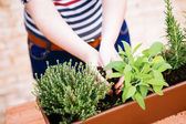 Hands transplanting sage on a pot — Stock Photo