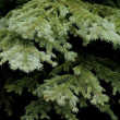 Stock Photo: CONTRAST SPRUCE