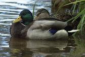 Two ducks — Stock Photo
