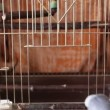 Stock Video: Household pet, blue budgerigar enters birdcage