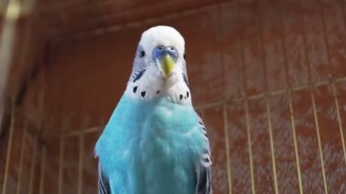 Blue budgerigar sitting in a cage for birds — Stock Video