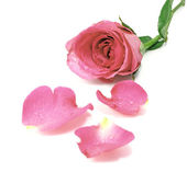 Closeup of pink rose petals covered dew — Stock Photo