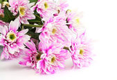 Closeup of chrysanthemum — Stock Photo
