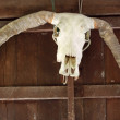 Buffalo skull hanging from the side of a barn. — Stock Photo