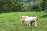 Two thai cows in grass land — Stock Photo