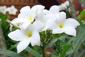 プルメリア pudica 花 — ストック写真