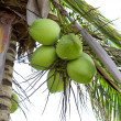 Clusters of green coconuts — Stock Photo