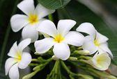 Yellow plumeria flower — Stock Photo