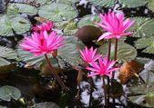 Flor de loto rosa florece en verano — Foto de Stock