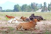 Cows lieing on the field — Stock Photo