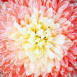 Chrysanthemum — Stock Photo #13303214