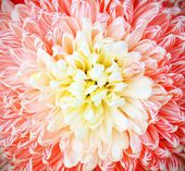 Chrysanthemum — Foto Stock