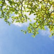 Green leaves on blue sky - Stock Photo