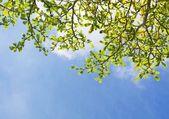 Folhas verdes em céu azul — Fotografia Stock