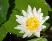 Closeup on white lotus — Stock Photo