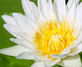 Closeup white lotus — Stock Photo