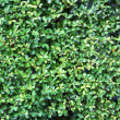 Green leaves wall background — Stock Photo #13349091