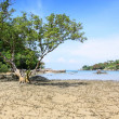 Big tree on the beach at layan beach phuket thailand — Stock Photo