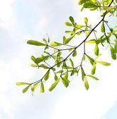 Fresh leaves against the sky — Стоковое фото