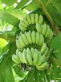 Green bananas on a tree — Stock Photo