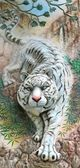 White tiger on the wall in phuket thailand — Stock Photo