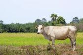 白牛站在一起水稻领域风景 — 图库照片