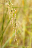 Close up of paddy rice. — Stock Photo