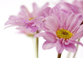 Beautiful blooming pink flowers on a white background — Stock Photo
