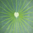 Stock Photo: Close up on lotus leaf