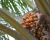 Palm oil, a well-balanced healthy edible oil is now an important — Стоковое фото