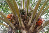Palm oil, a well-balanced healthy edible oil is now an important — Zdjęcie stockowe