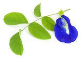 Clitoria ternatea — Stock Photo
