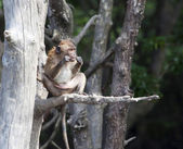Monkey (Macaque rhesus) in Thailand — Stock Photo