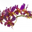 Purple Orchid Flower isolated on white background — Stock Photo