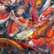 Stock Photo: Japanese koi fish