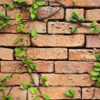 Green creeper plant on brick wall for background — Stock Photo #13597515