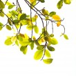 Green and yellow leaves on white background — Stock fotografie