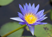 Purple lotus flower — Stock Photo