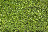 Green leaves wall as background or wallpaper — Stock Photo